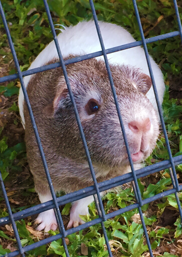 Chloe the brown and white guinea pig looking through the cage at Jess natural dog food