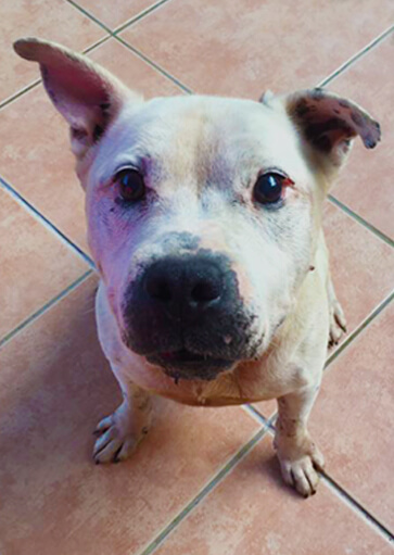 Max The white English Staffy sitting on tiles waiting for a treat natural dog food