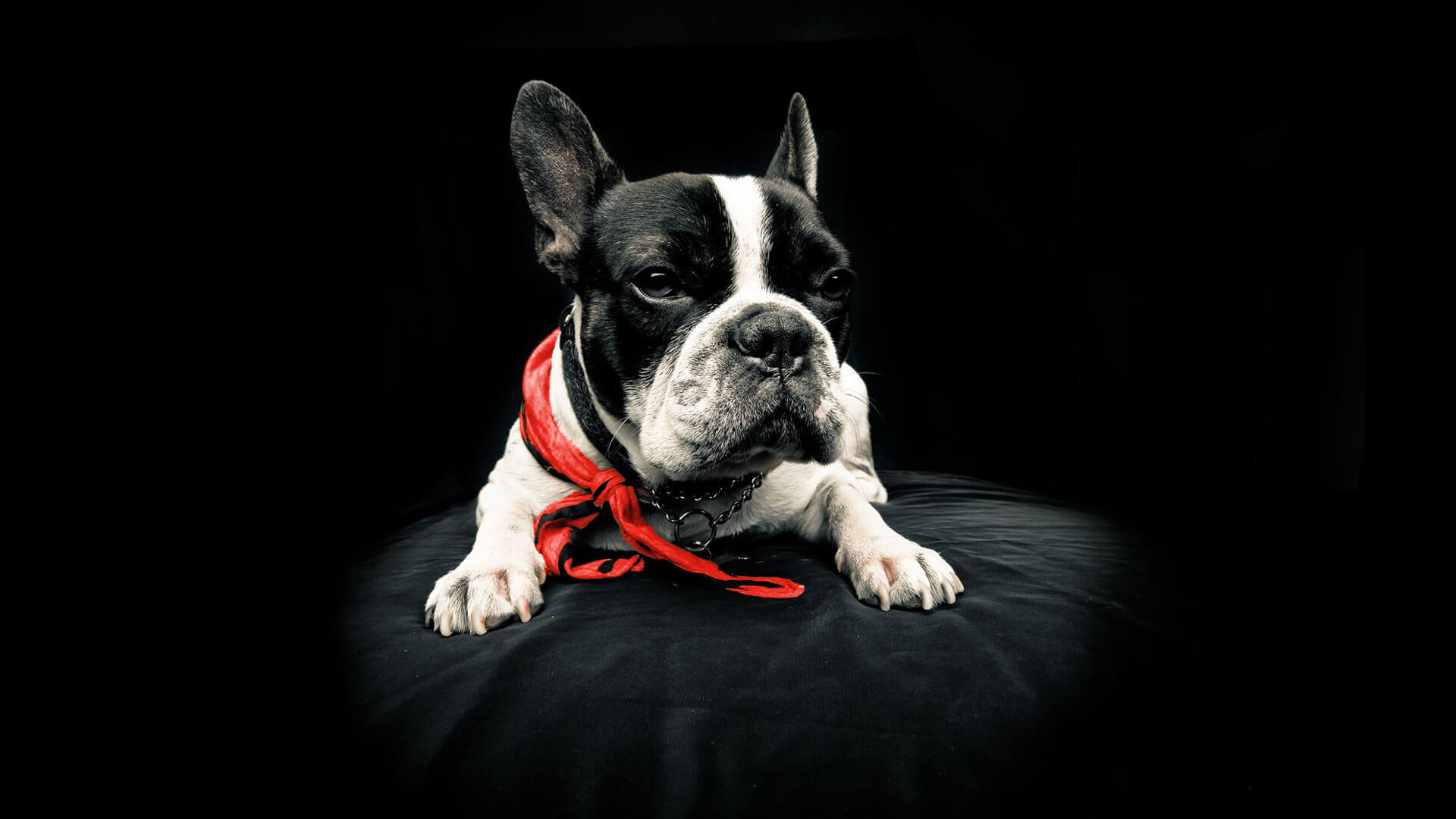 Drool Pet Co. best dog food, black and white French bulldog with red scarf sitting on black couch