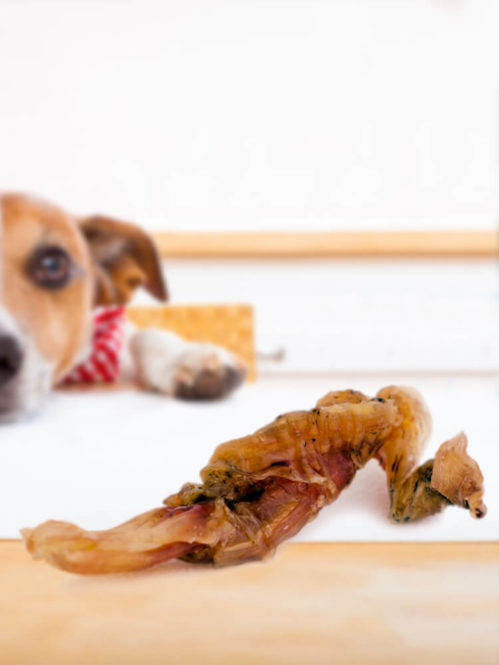 Photograph of a Jack Russell on a table looking at a dried beef tendon dog treat