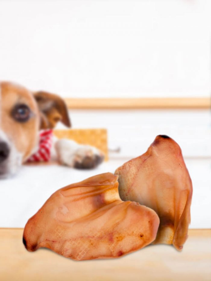 Photograph of a Jack Russell on a table looking at a dried pig ear dog treat