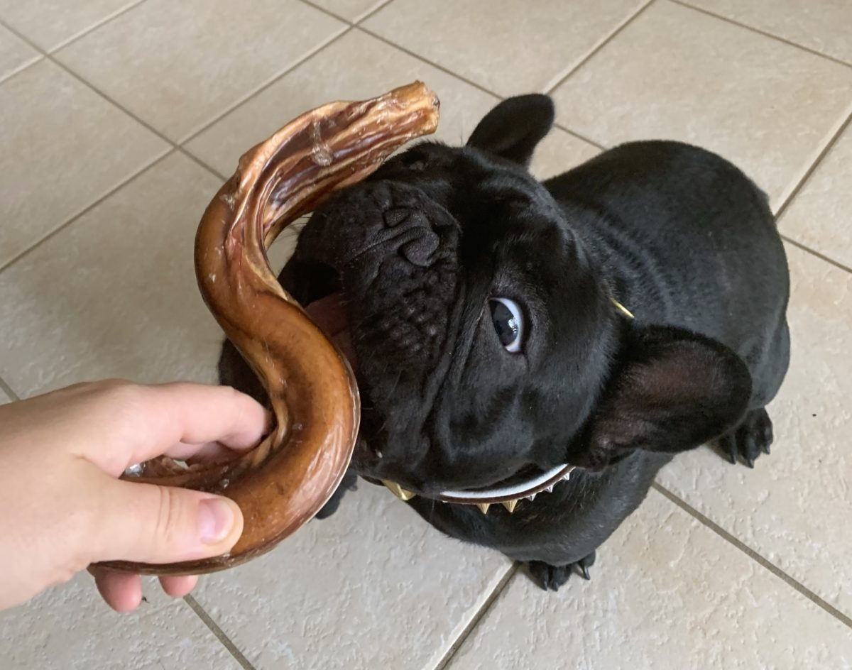 french bulldog sniffing a dog treat
