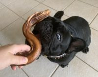 french bulldog sniffing a dog treat