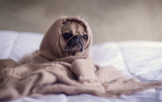 Chihuahua wrapped up in a beige blanket with a droopy sad face