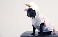 small black french bulldog in unicorn costume
