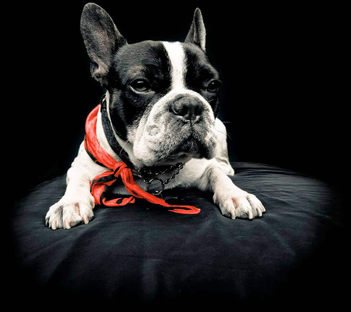 black and white french bulldog with red scarf sitting on black cushion best dog food
