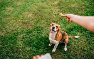 Dog Waiting For Natural Pet Treat For Training