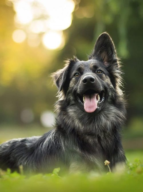 Drool Pet Co. Value Pack. Photograph of a GSD laying happily on grass.