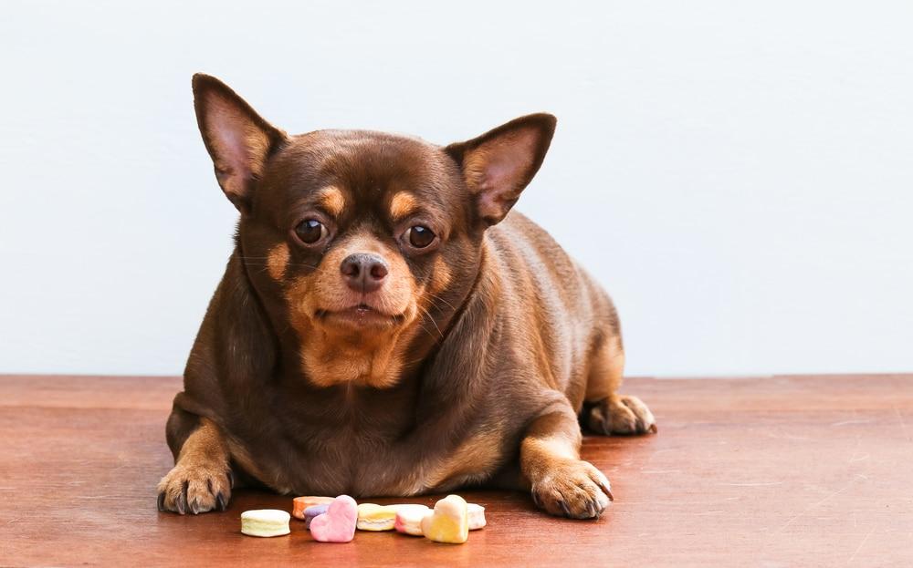 Fat Chihuahua Lies With Treats
