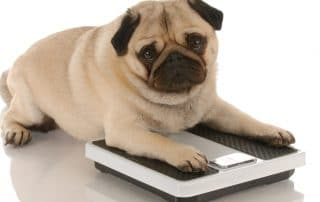 Fat Pug Sits on Scales