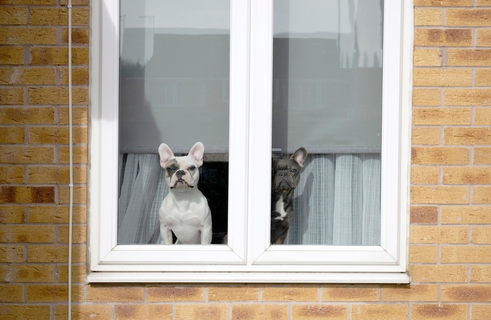 two dogs watching from a window