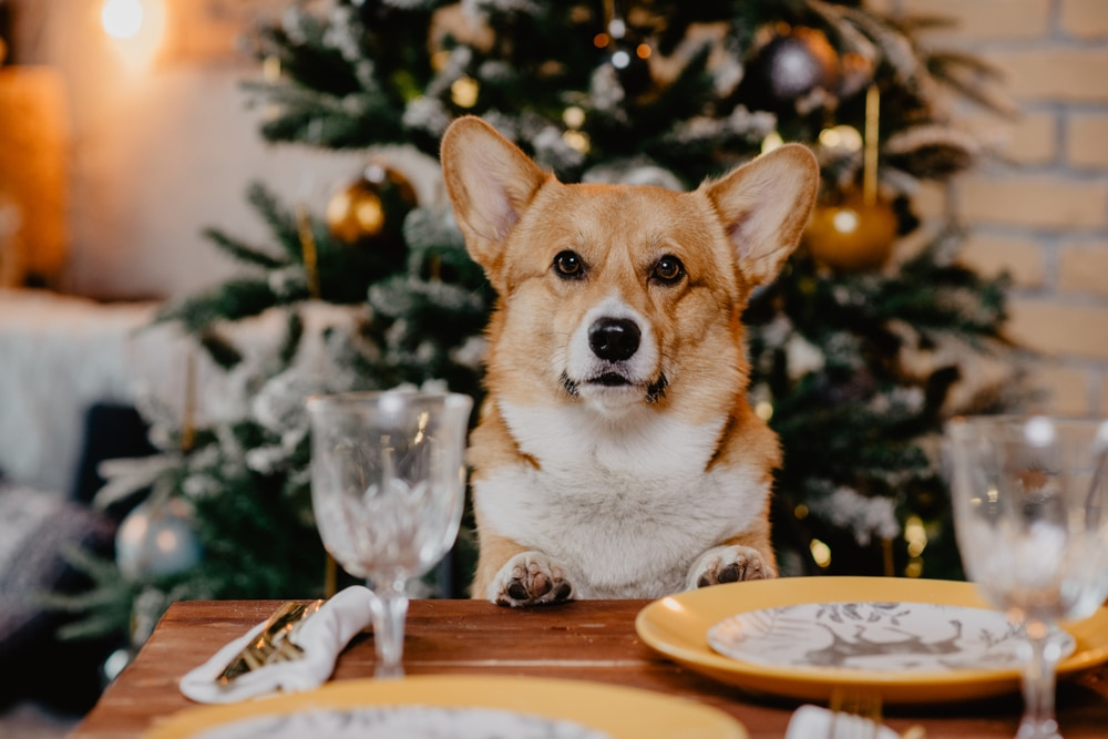 corgie sitting at christmas table