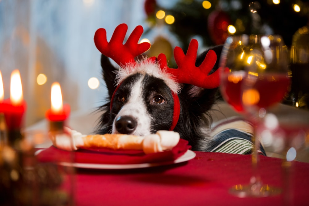 dog eating bone on christmas table